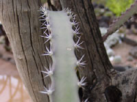 Acanthocereus occidentalis