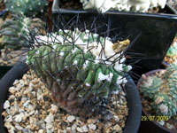 Copiapoa malletiana