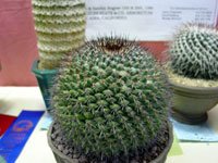 Mammillaria sonorensis