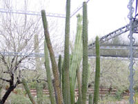 Pachycereus hollianus
