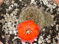 Rebutia brunescens