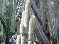 Weberbauerocereus johnsonii