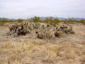 Grusonia parishii - Parish Cholla