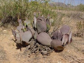 Opuntia basilaris -Beavertail Prickly pear