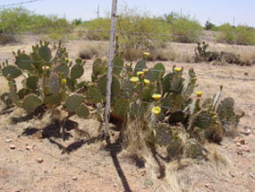 Opuntia englemannii -Englemans Prickly Pear