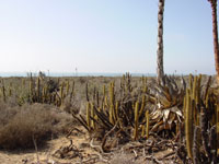 cactus sea level