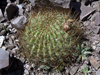 Echinopsis korethroides