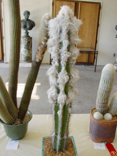 Kaktusi P_leucocephalus_c_600