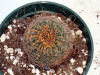 echinopsis red spider mite