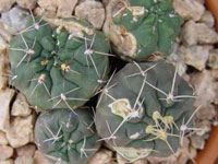 gymnocalycium rat eating